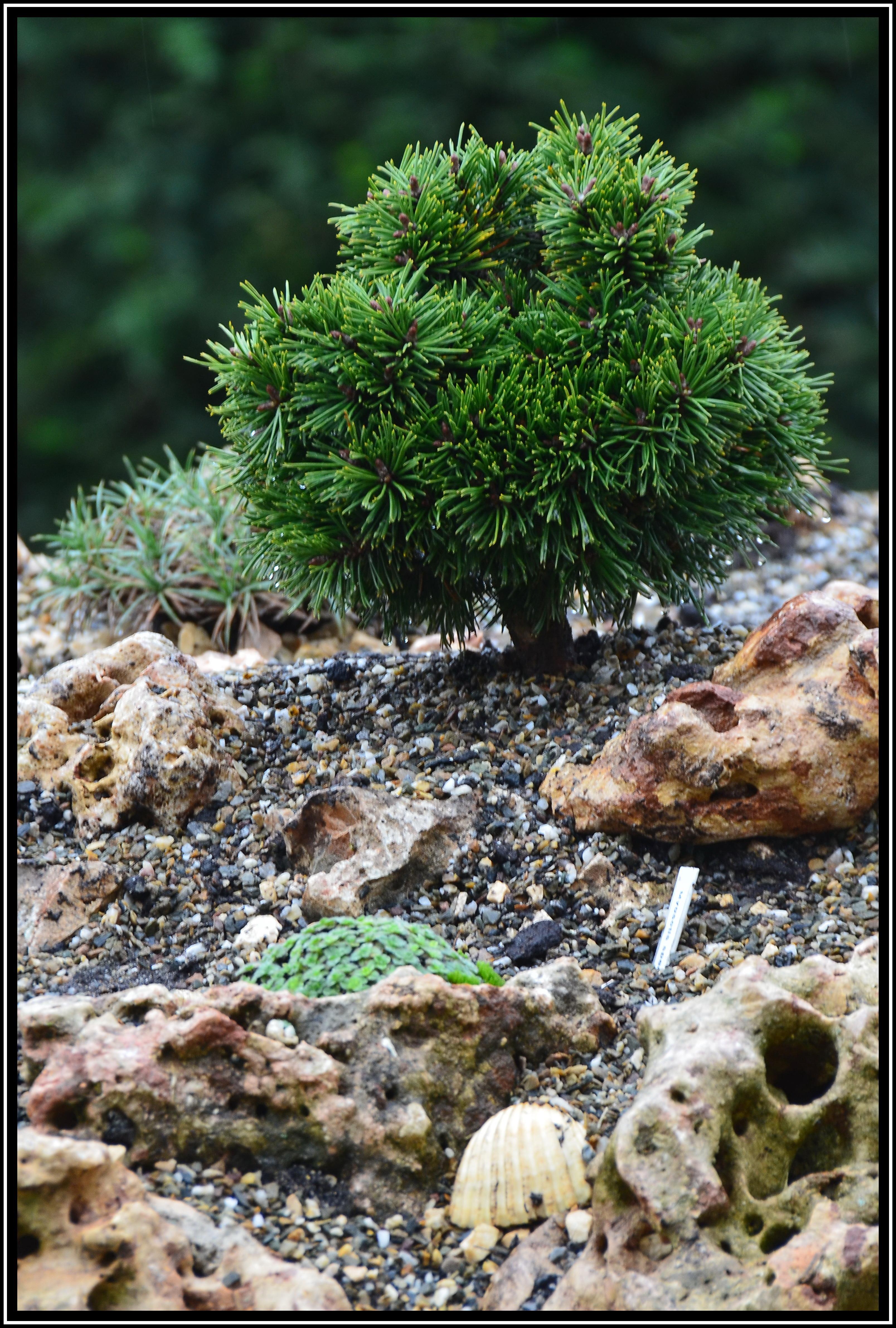 Mein kleines Alpinum - Ein Steingarten am Niederrhein - Pinus ...